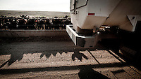 Beef cattle, in a feedyard in South West Kansas, wait for one of their four daily feeds. A vehicle dispenses this computer controlled diet into feeding troughs. A feedyard is part of the factory farming process where animals are fattened up prior to slaughter. They are mostly fed on corn or corn dervived products gaining between 2.5 and 4.5 pounds per day. 25% of all American beef is produced in Kansas.