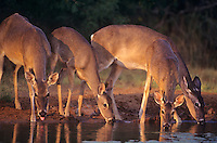 625358059 four wild whitetail deer odocoileus virginianus drink at a water hole in the lower rio grande valley of south texas united states