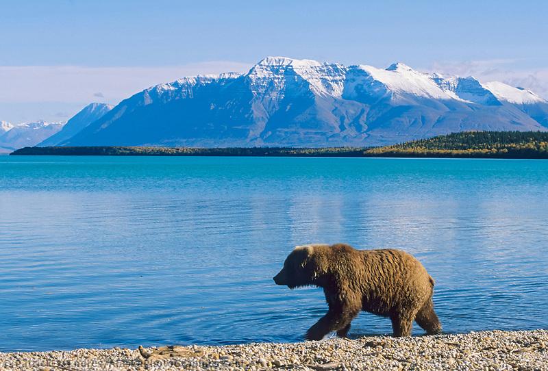 Brown bear cub, Naknek Lake, snow covered Mount Katolinat, Katmai National Park, Alaska.