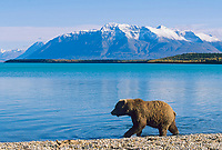 Brown bear cub, Naknek Lake, snow covered Mount Katolinat, Katmai National Park, Alaska.