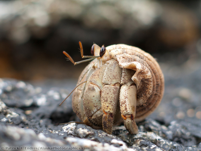 Hermit crab, Galapagos Islands, Ecuador. NOTE: File size limits reproduction to 8x11 for optimal quality and sharpness.
