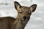 Sika deer, Cervus nippon, portrait, female, young , Shiretoko National Park, Hokkaido Island, Japan, cute alert, looking .Japan....