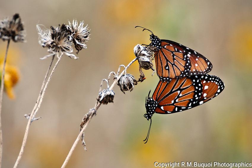 Queens Butterflies mating