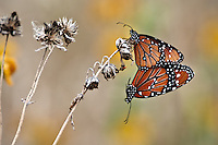 Queens Butterflies mating
