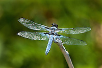 389330006 a wild male hoary skimmer libellula nodisticta perches on a dead twig in fish slough mono county callifornia