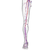 An anterior view of the blood supply of the lower limb. The surface anatomy of the body is semi-transparent and tinted grey. Royalty Free