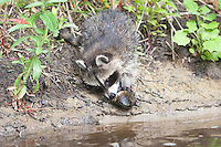 """Waschbär, knapp 3 Monate altes Jungtier sammelt erste Erfahrungen mit dem Element Wasser, hat eine Muschel gefunden und untersucht diese, Tierkind, Tierbaby, Tierbabies, Waschbaer, Wasch-Bär, Procyon lotor, Raccoon, Raton laveur, """"Frodo"""""""