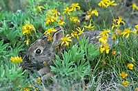 Young mountain cottontail rabbit or Nuttall's Cottontail (Sylvilagus nuttallii) among wild groundsel blossoms