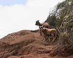 A pair of mountain goats are walking the edges of Waimea Canyon, Koke'e State Park, Kalalau Lookout, Kaua'i, Hawaii