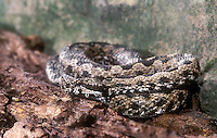 489354003 a captive adult long-nosed viper vipera amnodytes sits coiled among logs