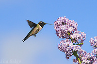 A hummingbird works a lilac bloom in the White Mountains of New Hampshire