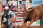 A bull rider runs away from his bull after being bucked.  Mt Garnet Rodeo, Mt Garnet, Queensland, Australia