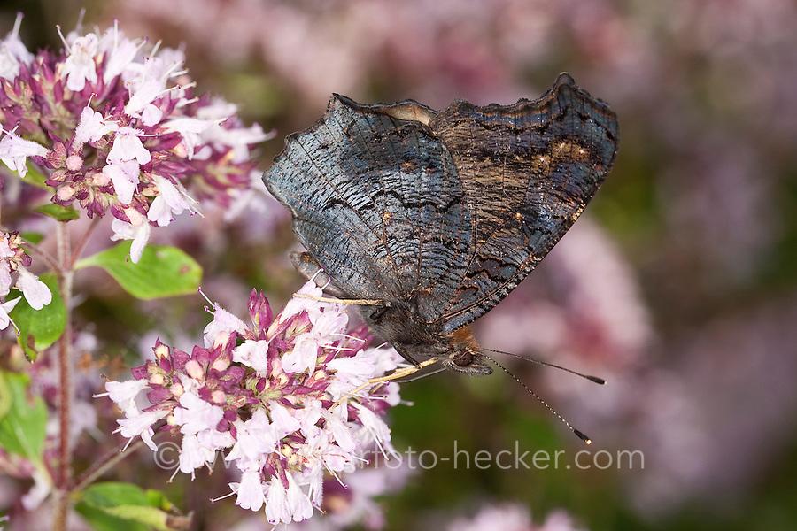 Tagpfauenauge, Blütenbesuch, Nektarsuche auf Wildem Dost, Oreganum, Origanum, Flügel-Unterseite, Tag-Pfauenauge, Inachis io, Nymphalis io, peacock moth, peacock