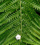 Laurel Flower on a Fern