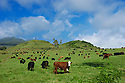 Cattle on hill with the cross at Hana Ranch; Hana coast, Maui, Hawaii.