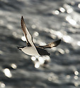 Razorbill (Alca torda) in flight, Varanger, Finnmark, Norway