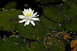 A white lotus blossom floats above the water adn lotus leaf pads in Washington, DC's Aquatic Gardens.