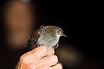 Black rail, held in hand during bird banding, at the Brazoria National Wildlife Refuge, coastal, Texas, spring.  Black rail is the smallest rail in the United States. Reclusive.