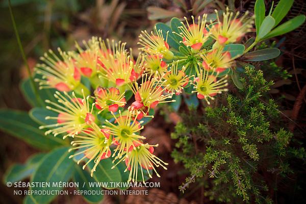 Xanthostemon aurantiacus, plante du maquis minier calédonien