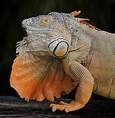 Albino Iguana (Iguana iguana), captive.