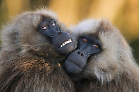 Gelada sub-mature males huddled together (Theropithecus gelada), Simien Mountains National Park, Ethiopia.