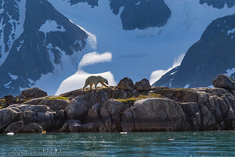 Single polar bear walks along the shores of Svalbard in the summer in search of food.