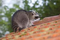 """Waschbär, etwa 5 Monate altes Jungtier auf einem Ziegeldach, Dach, """"Tiere in Dorf und Stadt"""", Männchen, Rüde, Waschbaer, Wasch-Bär, Procyon lotor, Raccoon, Raton laveur, """"Frodo"""""""