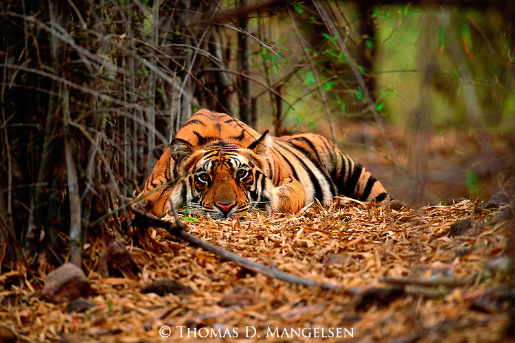 A bengal tiger rests under the shade of bamboo in Bandhavgarh National Park, Madhya Pradesh, India.