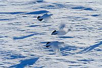 Willow Ptarmigan in white plumage take flight on snow covered tundra, Arctic, Alaska.