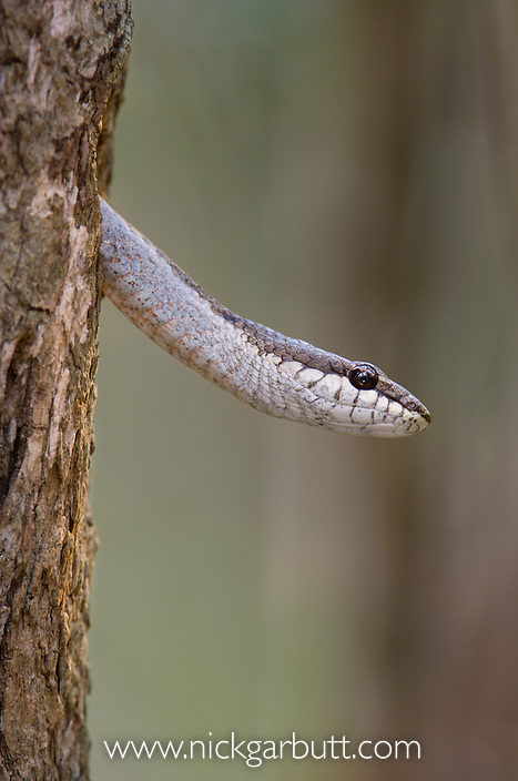 Endemic arboreal colubrid snake known locally as 'Fandrefiala' (Ithycyphus goudoti) (non-venomous) emerging from tree hole. Zombitse National Park, south west Madagascar.