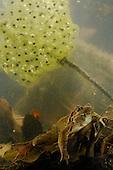 A female Italian Agile Frog (Rana latastei) underwater with eggs, Italy