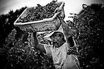 Jose Perez carries ripe fruit from the vine on the Barberis family farm.<br />