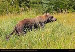 Alaskan Coastal Brown Bear in Sedge Grass, Silver Salmon Creek, Lake Clark National Park, Alaska