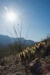 Hedgehog cactus, Echinocereus engelmannii, and ocotillo, Fouquieria splendens. Organ Pipe Cactus National Monument, Arizona.