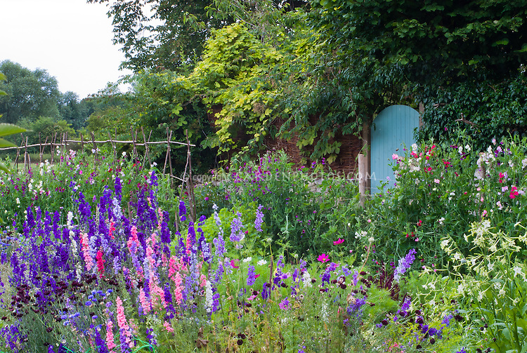 Cutting flower garden with lush beautiful blooms of delphiniums, flowering tobacco Nicotiana alata, sweetpeas Lathyrus odoratus climbing on willow homemade teepee poles, cosmos, bachelor buttons Centaurea, in blue, purple lavender, pink and white colors, next to secret garden door in brick wall, hobby farm for cut flowers