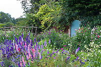 Heirloom and old-fashioned Cutting flower garden with lush beautiful blooms of delphiniums, flowering tobacco Nicotiana alata, sweetpeas Lathyrus odoratus climbing on willow homemade teepee poles, cosmos, bachelor buttons Centaurea, in blue, purple lavender, pink and white colors, next to secret garden door in brick wall