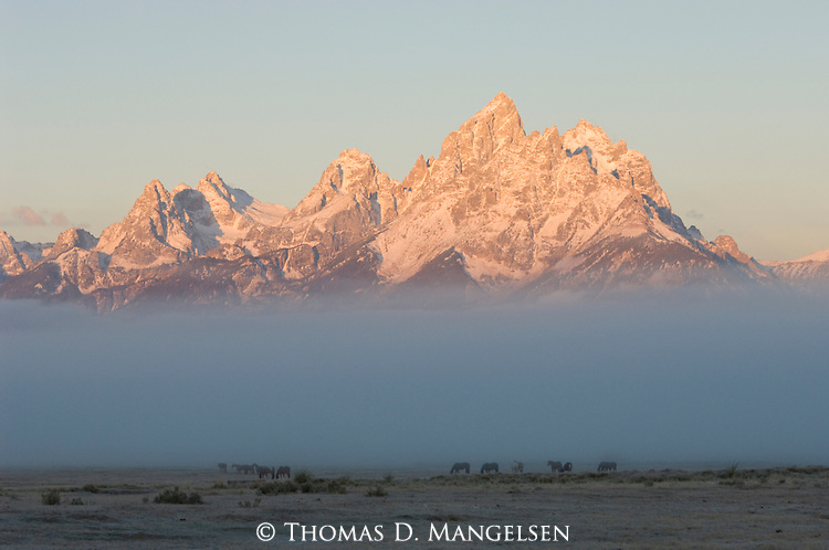 A herd of horses graze in a field shrouded by morning fog, back dropped by the towering peaks of the Tetons in Grand Teton National Park, Wyoming.
