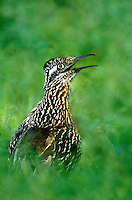 576010006 a wild greater roadrunner geococcyx californianus looks back over its shoulder on a private ranch in the rio grande valley of south texas