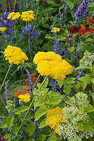 Achillea (yellow) with Nepeta &amp; Agapanthus  &amp; red Helenium for blue and yellow flower garden