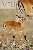 A baby impala ,Aepyceros melampus, Masai Mara Game Reserve, Kenya