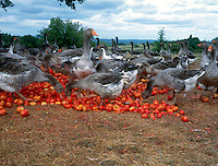 FARM ANIMALS<br /> (Variations Available)<br /> Flock Of Geese Feeding On Tomatoes<br /> Dordogne, France