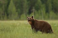 Brown Bear (Ursos arctos), male looking for food, Finland, July 2012