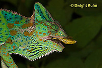 CH51-598z Female Veiled Chameleon eating insect prey, Chamaeleo calyptratus