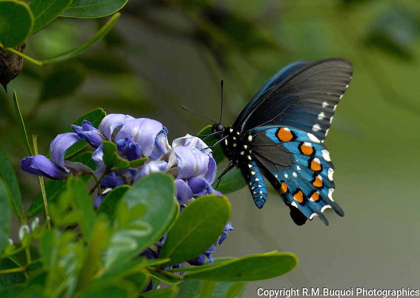 Pipevine Swallowtail Butterfly on Texas Mountain Laurel