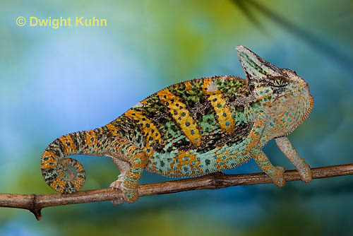 CH39-525z  Male Veiled Chameleon in display colors, Chamaeleo calyptratus