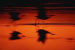Sandhill cranes in flight, New Mexico