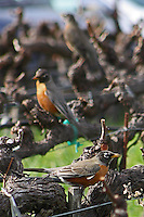 Robins perch on old, gnarled grapevines at Mondavi Vineyard near Napa in Napa County in Northern California.