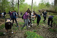 Bronx middle school students volunteer their time in Bronx Park in New York on Tuesday, April 13, 2010.  The students dig up the invasive plant, Japanese Knotweed, and test the Bronx River for cleanliness.  (© Frances M. Roberts)