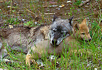 Grey wolf with pup, Flathead Valley, Montana