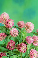Pink clover